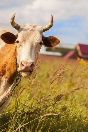 cow tongue: Funny red young cow with white spots with tongue sticking out on background of farm and forest.
