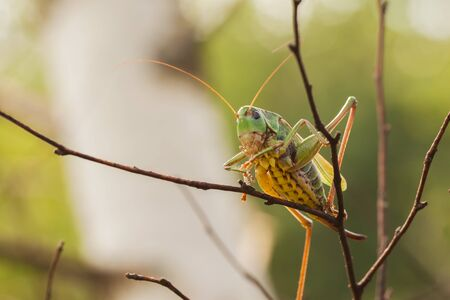 sexually: Female Decticus verrucivorus grasshopper sitting on on a branch in the forest. It feeds mainly on insects and plants. They are active during the day. Sexually mature males sing only in sunlight.