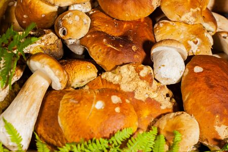 king fern: Big pile of fresh porcini mushrooms before cooking, decorated with green fern on a black background close-up Stock Photo