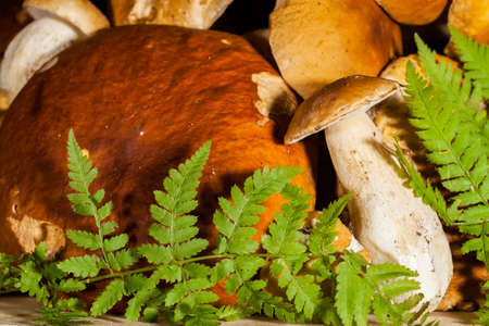 Fresh porcini before cooking, decorated ferns, different size. Boletus pinophilus is highly regarded, may be used fresh, preserved, dried and cooked in manner similar to that of other edible boletes