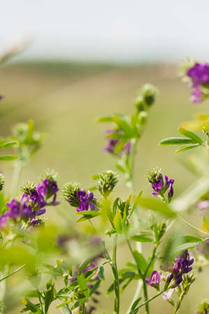 insecurity: Purple wildflowers and fresh grass. Sunny day. Conception fragility, environmental insecurity Stock Photo