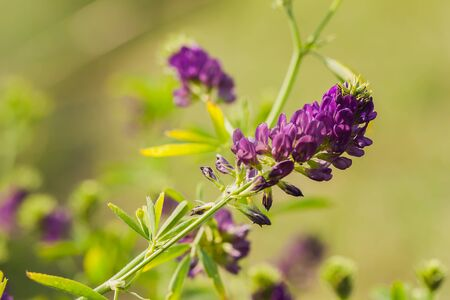 insecurity: Lilac wildflowers and fresh grass closeup. Sunny day. Conception fragility, environmental insecurity