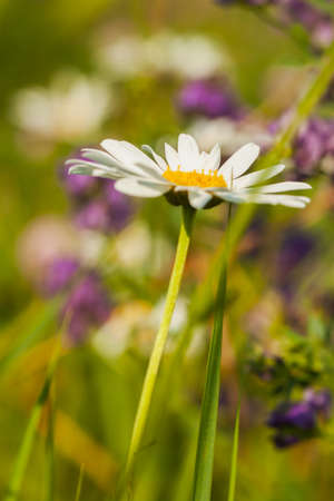 humility: Daisies symbolize joy and kindness represent tremulous feelings, humility, love and beauty