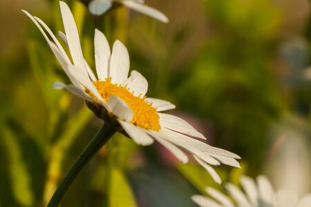 wondered: On this flower wondered daisy is associated with a symbol of beauty and purity among people