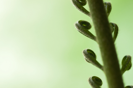 unfolding: For natural backdrops, Unfolding of spiral leaf young green palm Tree, nature pattern
