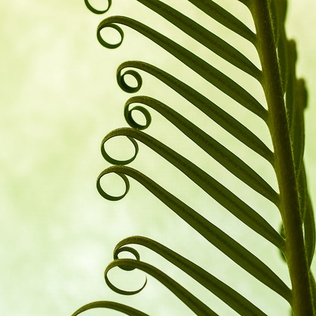 helical: Detail of young spring palm leaves on green background close up