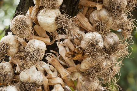 racy: Organic garlic braided in a pigtail for drying and storage, weighs on the country site Stock Photo