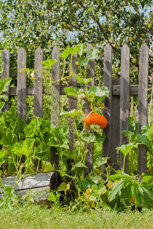 braiding: Pumpkin, nicely braiding on a rustic wooden fence, vertical