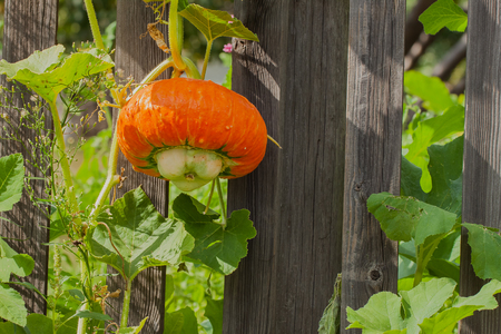 unpretentious: Pumpkin is so unpretentious to care that it can grow everywhere except Antarctica