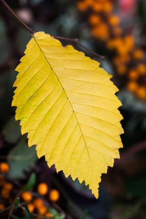 One autumn yellow leaf with sea-buckthorn berries on a dark background. Selective focus on the sheet