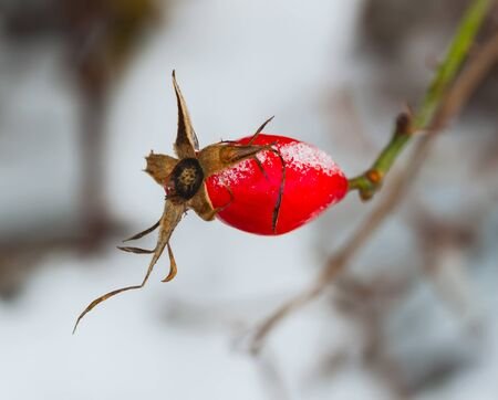 Branch of rosehips with red berry in snow. Winter, Christmas , New Year background