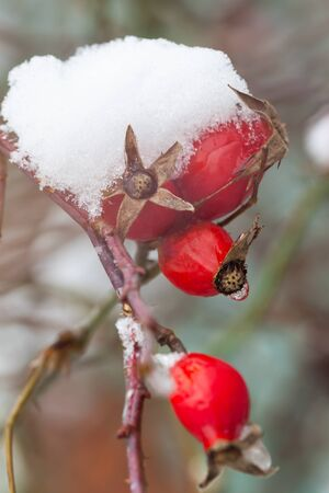 Fruit of rosehips covered by the first snow. Theme of Christmas and winter