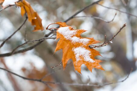 fall winter: First snow on trees and yellow leaf of oak. Change of season from fall to winter.