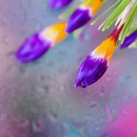 Elegant flowers of Crocus behind the wet window with realistic rain drops. Abstract background, modern halftones with raindrops, blurred style. Delicate tints for modern pattern, wallpaper, banner design Stock Photo