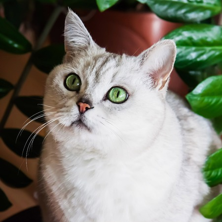 Big silver British cat with intelligent and beautiful green eyes attentively looking at us