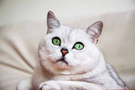 upholstered: Big silver British cat with intelligent and beautiful green eyes attentively looking at us