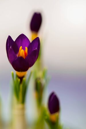 Closeup crocus on gentle background with real reflection light, real gradient, halftone. Concept of spring, spring saffron, gardening, flowers Stock Photo