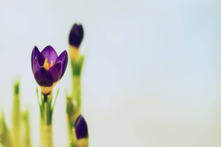 Closeup crocus on gentle background. Concept of spring, gardening, flowers. Place for your text. Romantic pattern, wallpaper, banner design. Spring, gardening concept.