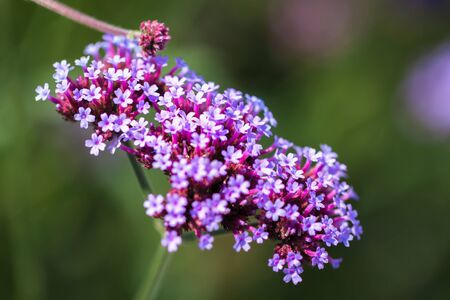 Vivid purple flowers close-up. Concept of beautiful nature, summer background. Seasons, gardening, admiring flowers