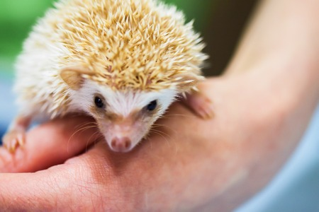 Close-up of decorative african pygmy hedgehog on human hand. Concept environmental protection, ecology, contact zoos, pets. Taking care of smaller, weak, defenseless