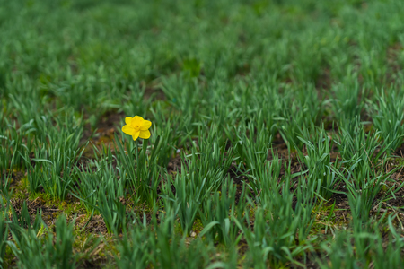 First Bright single daffodil, Narcissus flower among lots of green leaves. oncept of dissimilarity, bright personality. Modern wallpaper, copy space, selective focus