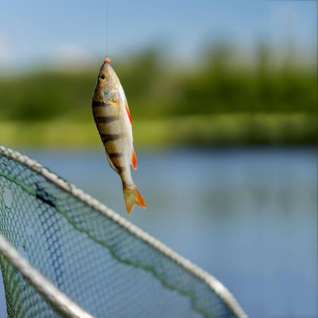 Bright perch close-up on fish-hook on lip with maggot, hot summer day, natural background, square. Concept luck, success, active rest, hobbies, countryside relaks
