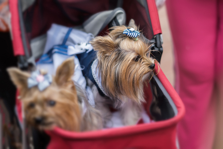Funny Yorkshire Terriers in red childrens pram. Sometimes dogs for their owners replace children. Concept of friendship between man and dog