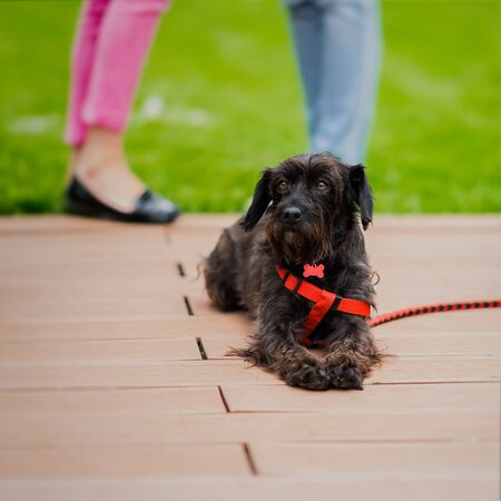 Cute black crossbreed dog, who was brought from the shelter to a special place where future owners can choose him and he will have house. Look of hope. Concept of kindness and social problems of homeless animals Stock Photo