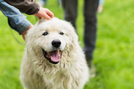 Cute adult dog with white fur that caress a few hands. She is pleased, happy and smiling. Concept of friendship between man and dog