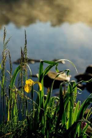 Summer pond, Stony beach, dawn, first rays of sun, sunrise. Wild gold flower of beautiful yellow iris. Concept of seasons, ecology, beauty of nature, natural background Stock Photo