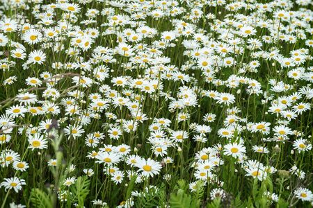 perfumery concept: Camomiles in the wind. Beautiful wild field of daisy flowers. Summer day after rain. Concept of seasons, ecology, green planet, healthy, natural green pharmacy, perfumery