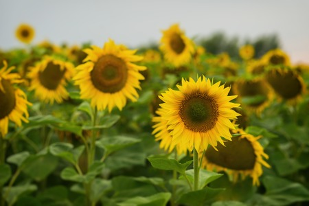 Sunflowers farm against sky during sunset. August evening after the rain. Beautiful summer background on different topics.