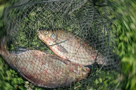 Two bream in a fishing net close-up, successful fishing. Natural Yin and Yang. Symbol of unity and control of two opposing energy, interaction of extreme opposites