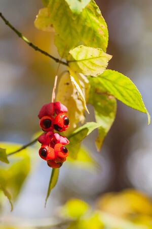 Close-up of scenic of beautiful vivid red berries, colorful autumn colors, fall background. Fall has come, real beauty of autumn colors Stock Photo