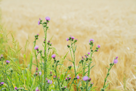 Thistles growing in meadows along with cereal, rural landscapes