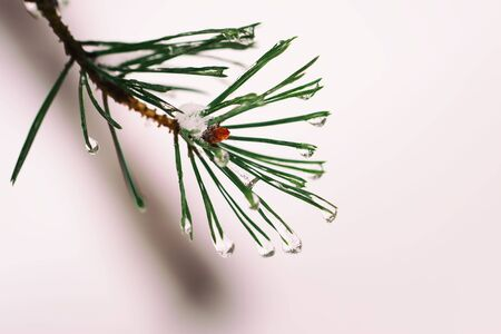 Close-up of Winter snowy pine tree with frost and snow. Christmas , winter, spring, happy new year background, copy space