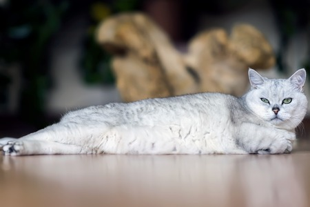 Stretched to its full length, beloved light cat stretched out in its entire length lazily relaxes on the floor, tiredly folding its paws and looking at us attentively