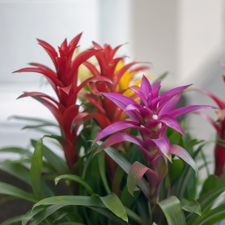 Mix of colorful bright Guzmania, fine representative of the bromeliad or pineapple family. exotic beauty, leader in the design of interiors Stock Photo