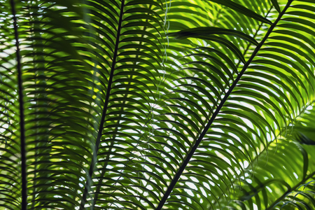 Tropical date palm tree branches close-up with natural light. Abstract texture, natural exotic jungle green background. Natural pattern