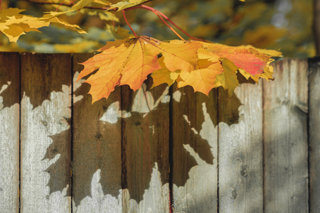 Branches of bright orange maple leaves against of an old wooden fence, natural autumn background Reklamní fotografie