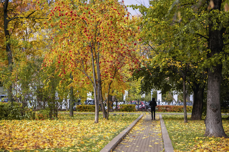 Citys picturesque boulevard in the autumn, yellow trees, wild Rowan with ashberry berries, single unrecognizable young man, fallen leaves. Seasons, nostalgic mood