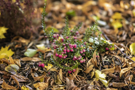 Bright short evergreen shrub of cowberry, Vaccinium among the fallen autumn maple foliage. Evergreen plant. Natural picturesque autumn background