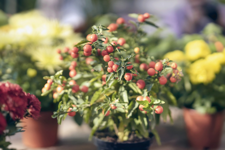 Ripe red berries of ripe nightshade in a flower pot, autumn ornamental plants for background