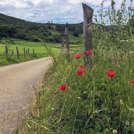 Red poppies near the rural footpath. Countryside landscape Imagens - 125431213