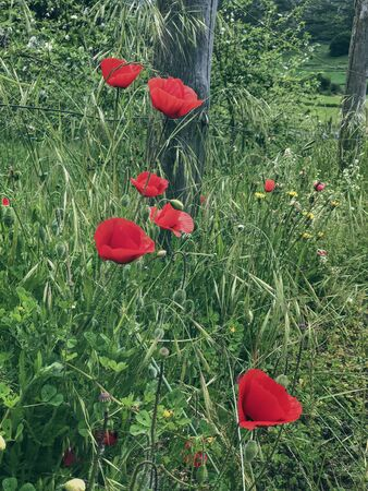 Wild blooming scarlet poppies at the village fence Imagens