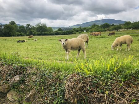 White cute sheep on the picturesque green pasture by green hills. Country summer landscape
