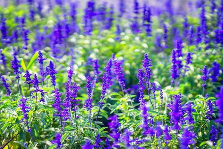 Bright picturesque, purple purple lavender-like flowers in a street flowerbed, summer day, botanical background, concept of seasons, weather Imagens