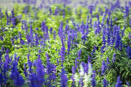 Flowers like lavender in a street flowerbed on a sunny day, botanical background, concept of seasons, weather Imagens - 129626171