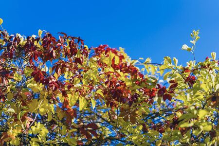 Natural autumn background of wild colorful foliage against the blue sky. Colors and texture of autumn, bright color botanical pattern Imagens