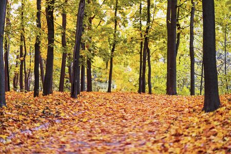 Old park in autumn, path with many fallen maple leaves. Fall, walking, mood, nostalgia Imagens
